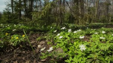 Wood landscape with white flowers anemones — Stock Video
