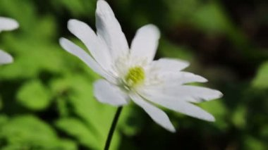 White flowers anemones in spring wood — Stock Video