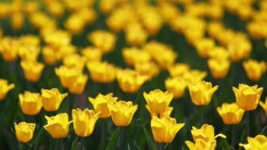 Field of yellow tulips blooming — Stock Video