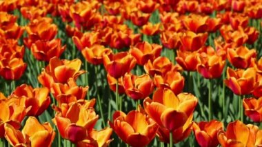 Field of orange tulips blooming — Stock Video