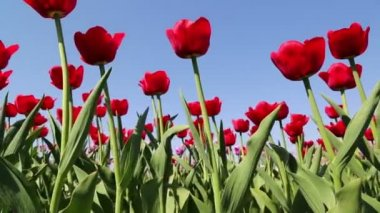 Field of red tulips blooming — Stock Video