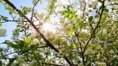 Sun shines through the flowers of bird cherry tree — Stock Video