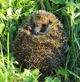 Hedgehog curled in the grass — Stock Photo