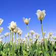 Field of blooming white tulips — Stock Photo #49972277