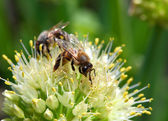 Bees on flower of onion — Foto Stock