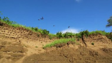Colony of swallows on steep bank of river — Vidéo