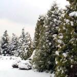 Snowy fir-trees in winter — Stock Photo #1127083