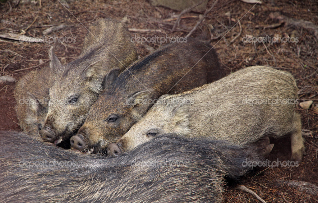 Four wild boars sucking milk from their mother — Stock Photo #13499816