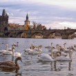 Swans on Vltava river in Prague - Stok fotoğraf