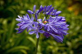 Blue African Lily (Agapanthus Africanus) — Stock Photo