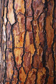 Brown bark of pine tree — Stock Photo
