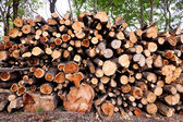 Pile of raw pine wood logs — Stock Photo