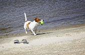 Jack russell terrier köpek plajda çalışan — Stok fotoğraf