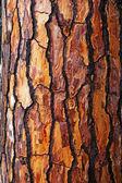 Brown bark of pine tree — Stock Photo