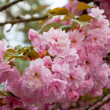 Close up branch of sakura blossom — Stock Photo #30607577