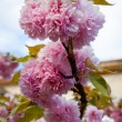 Close up branch of sakura blossom — Stock Photo