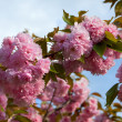 Close up branch of sakurblossom — Stock Photo #30829233