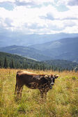Cow on a pasture in Carpathian mountains, Ukraine — Stock Photo