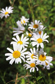 Summer meadow of daisy flowers — Stock Photo