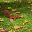 Stock Photo: Red squirre jumping in an autumn grass