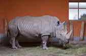 Rhino chews grass in a Zoo aviary — Stockfoto