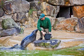 Fur seals feeding show at a Zoo — Stock fotografie