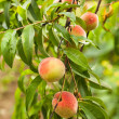 Peaches on a tree — Stock Photo