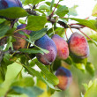Stock Photo: Ripe purple plum
