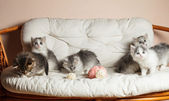 Five grey kittens — Stock Photo