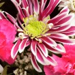 Pink aster background — Foto de Stock