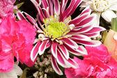 Sfondo rosa aster — Foto Stock