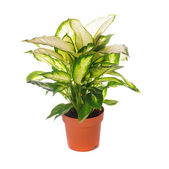 Dieffenbachia isolated — Stock Photo