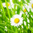 Green grass and daisy — Stock Photo