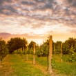 Vineyard on sunset — Stock Photo