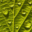 Green leaf macro — Stock Photo
