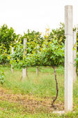 Vineyard rows in spring — Stockfoto