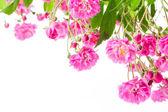 Różowy krzewów róży — Zdjęcie stockowe