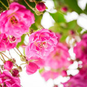 Pink rose bush — Stock Photo