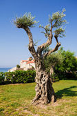 Decorative olive tree — Stock Photo