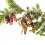 Pine branch — Stock Photo #35205219