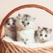 Three grey kittens — Stock Photo