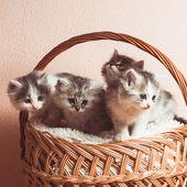 Four grey kittens — Stock Photo