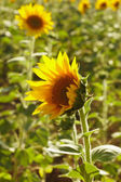 Sunflower field — Photo