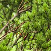 Branch of needles pine — Stok fotoğraf
