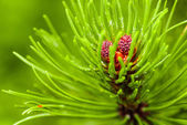 Branch of needles pine — Stock Photo