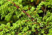 Green juniper's berries — Stock Photo