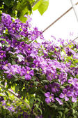 Purple clematis — Stock Photo