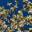 Blossoming of magnolia flowers in spring time — Stock Photo #14158980