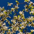 Blossoming of magnolia flowers in spring time — Stock Photo