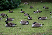Flock of white and brown geese in green — Stock Photo